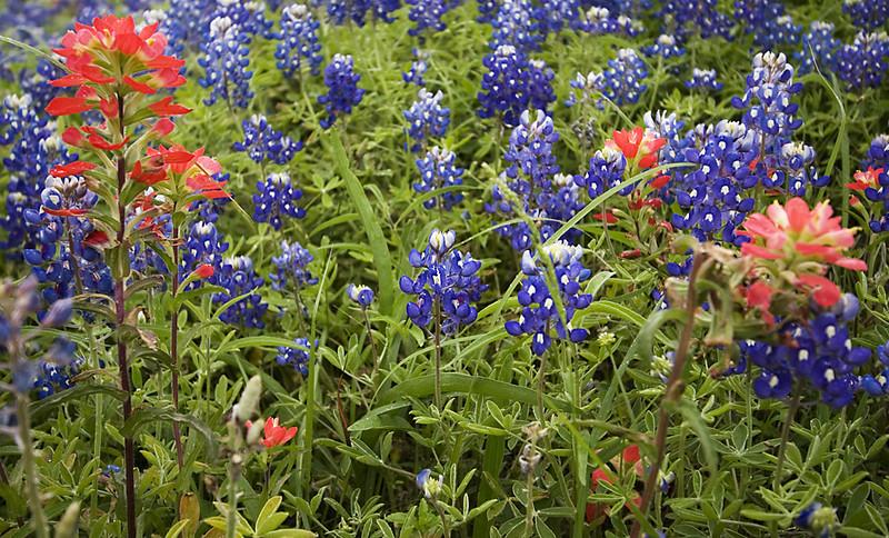 Texas Bluebonnets and Paintbrush