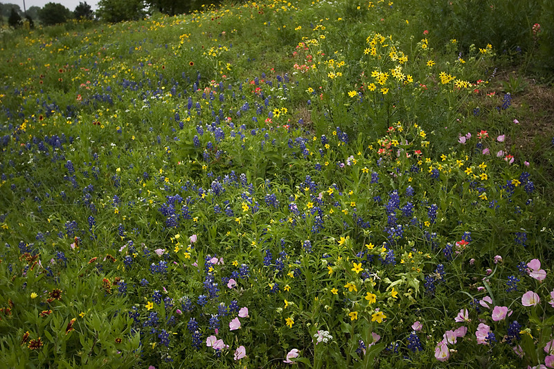 Texas Bluebonnets, Primrose, Blanketflowers, Paintbrush and some unidentified yellow flowers.