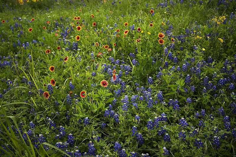 Texas Bluebonnets and Blanketflowers.