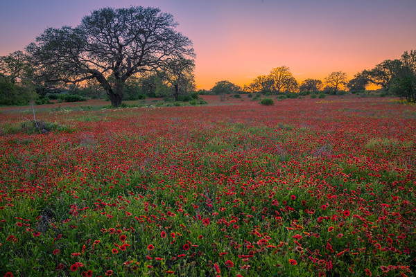 Indian Blankets (Firewheels) Near Dusk in the Texas Hill Country
