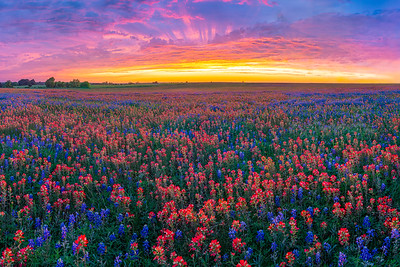 Spectacular Sunset with Bluebonnets and Paintbrush