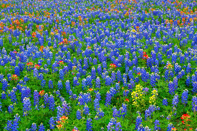 A Field of Texas Wildflowers with Lemon Paintbrush