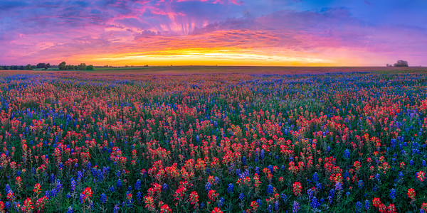 Spectacular Sunset with Bluebonnets and Paintbrush Panoramic