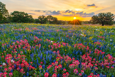 Colorful Field of Texas Wildflowers at Sunrise