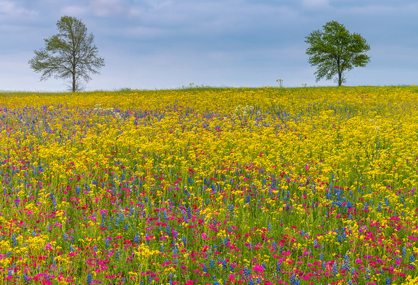 Yellow Flowers with a Mix of Phlox and Bluebonnets