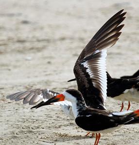 Black Skimmer wings