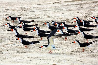 Black Skimmers at full alert