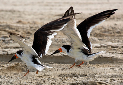 Two Black Skimmers flapping