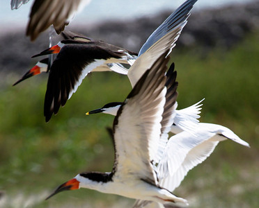Black Skimmers and a Sandwich Tern