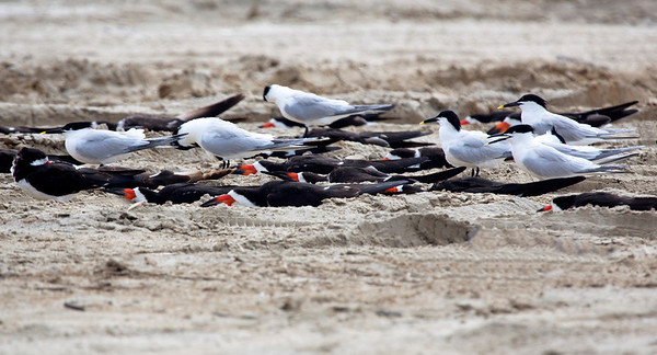 Black Skimmers and Sandwich Terns napping