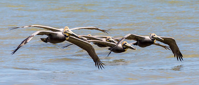 6 Brown Pelicans in flight