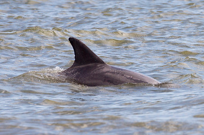 Another dolphin -- with distinctive scars on its back