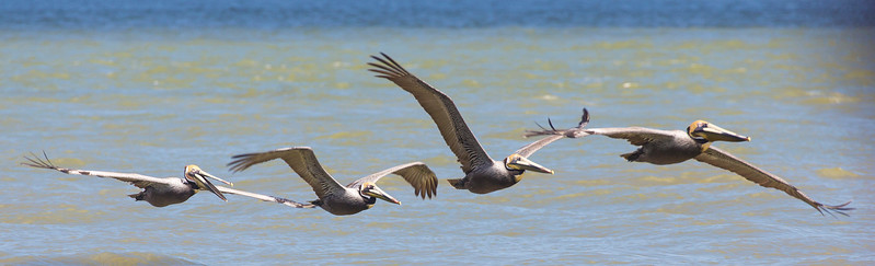 Four Brown Pelicans
