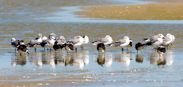 The Black Skimmers like to mix in among Gulls.