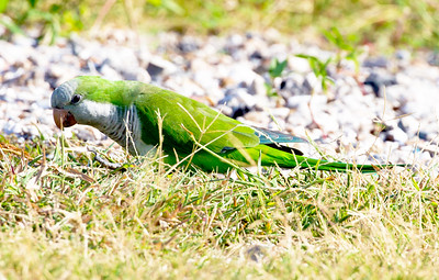 We arrive at the Dike and are greeted by a Monk Parakeet instead of a shore bird.
