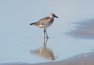 ... wades in a shallow shore puddle.  (It's called a Grey Plover in Europe.)