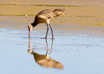 Unlike the similar Long-Billed Curlew, the Marbled Godwit's bill curves upward.