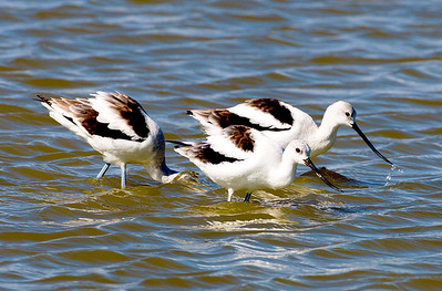 A group of American Avocets forages in a large temporary pond.