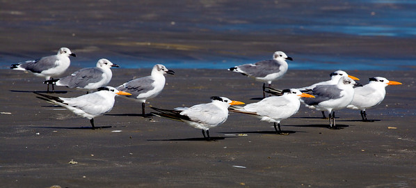 Five Gulls and five Royal Terns