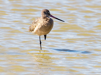 A Marbled Godwit stands on one leg.