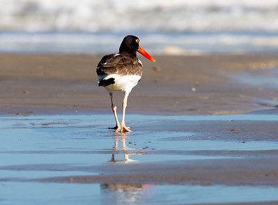 A stately Oyster Catcher walks away from us ...