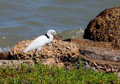 A Snowy Egret on old rip-rap rocks, along the Dike's northern shore.