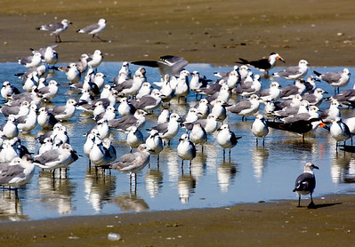 Gulls, Gulls, Gulls ... and a few Black Skimmers