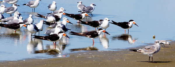 Now we find Black Skimmers mixing in with theGulls.