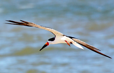 A Black Skimmer takes flight ...