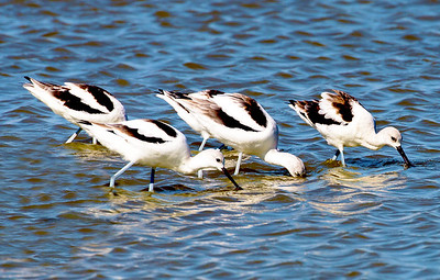 Five Avocets, bills in the water ...