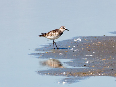 A pretty Black-Bellied Plover (without its black breeding plumage) ...