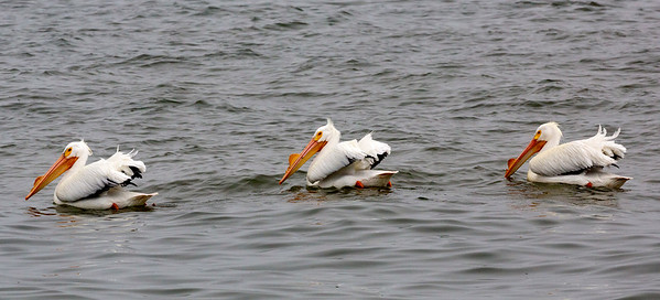 Three White Pelicans resting in the water