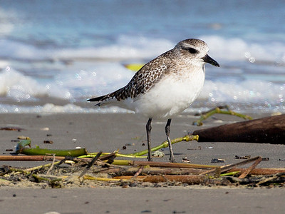 A Western Sandpiper takes stock of the beach.
