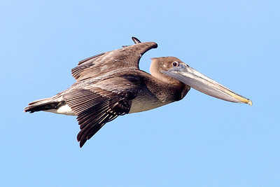 A Brown Pelican passes over us.