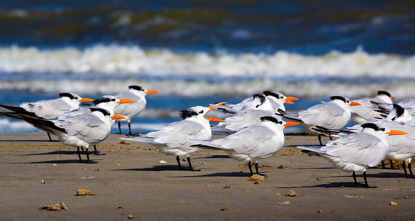 A group of Royal Terns with one spokesman