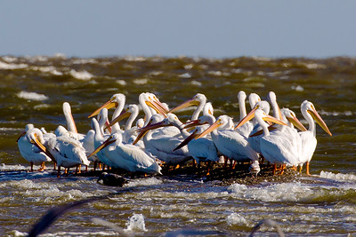A flock of White Pelicans on a spit