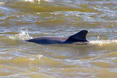 Another Dolphin swims by.