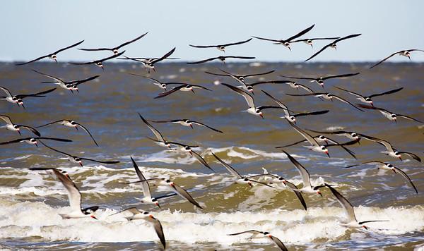 The Skimmers skim along the shoreline.