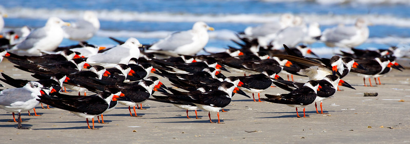 A formation of Black Skimmers on the ground