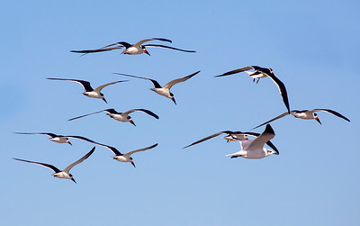 11 Black Skimmers and one gull
