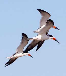 Three Black Skimmers in tight formation