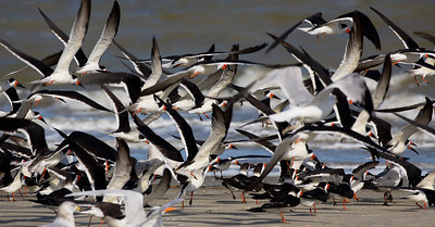 A rush of Skimmers along the beach