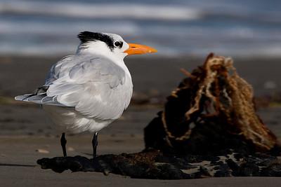 A Royal Tern next to a lump of flotsam