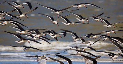 Another tight formation of Black Skimmers