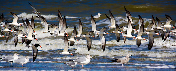 They agree on right-wing-up as the fly low over some gulls.