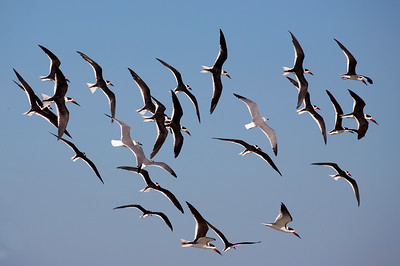 18 Black Skimmers and 3 seagulls