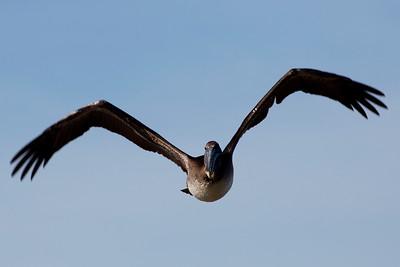 Brown Pelican coming at us