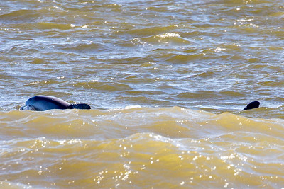 Two Dolphins off the end of the dike