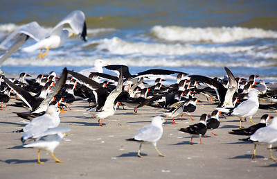 We come upon a large flock of Black Skimmers among the gulls.