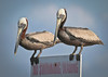 Brown Pelicans considering whether to violate the stated rules